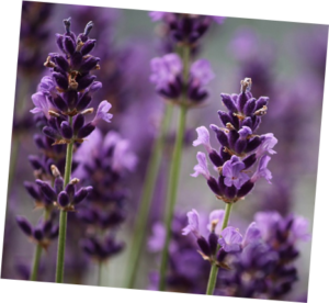μωβ λουλούδια ανθισμένης λεβάντας που είναι ένα βότανο το οποίο χρησιμοποιείται για την ολιστική θεραπεία σε διάστρεμμα αστραγάλου