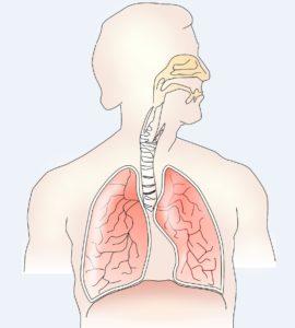 Εικόνα που δείχνει το αναπνευστικό σύστημα το οποίο επηρεάζεται ιδιαίτερα από τα μικροσωματίδια που υπάρχουν σε Δασικές Πυρκαγιές και χρειάζονται ειδικά μέτρα για την προστασία και την υγεία του.